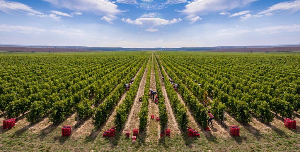 Unskilled labor picks grapes during harvest